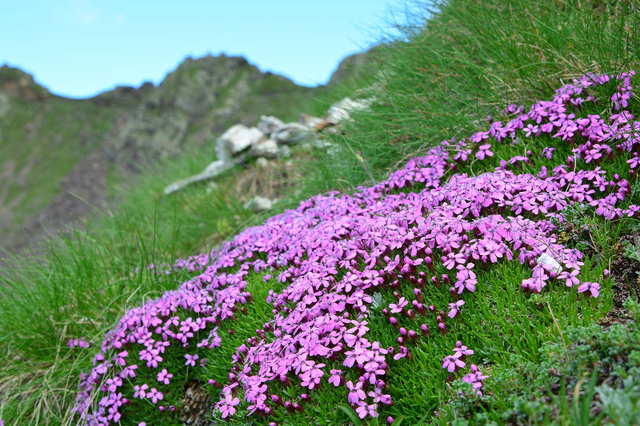 Silène acaule, Silene acaulis (Flore de montagne)