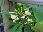 Gingembre ornemental blanc, mariposa, Hedychium coronarium
