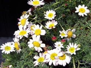 Camomille marocaine, Anacyclus pyrethrum var. depressus : culture, entretien