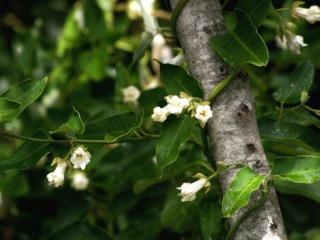 Araujia sericifera grimpant sur un arbre