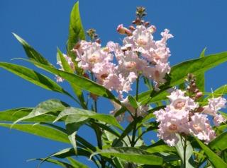 Fleurs de chitalpa tashkentensis
