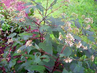 Eupatorium rugosum 'Chocolate' en fleur