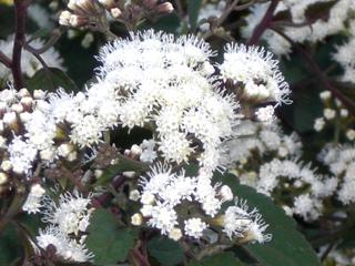 Floraison de Eupatorium rugosum 'Chocolate'