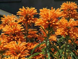 Leonotis leonurus particulièrement florifère