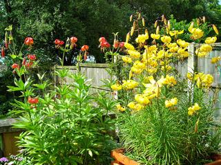 Lilium pardalinum (à g) et Lilium leichtlinii (à d)