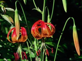 Lilium pardalinum ssp shastense