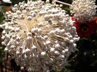 Produire ses graines au potager : maîtriser la pollinisation
