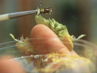 Pollinisation manuelle d'une fleur de Fabacée