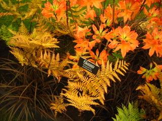 Uncinia rubra, dryopteris et azalée orange