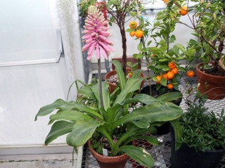Veltheimia bracteata sous serre
