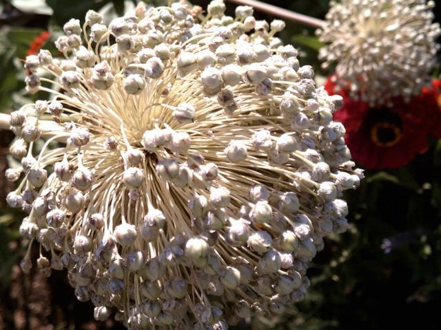 Maîtriser la pollinisation au potager et faites vos graines