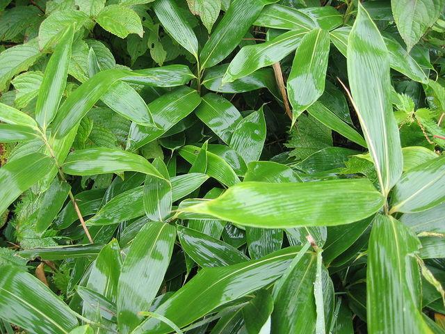 Les bambous couvre-sol : utilisation, espèces et variétés