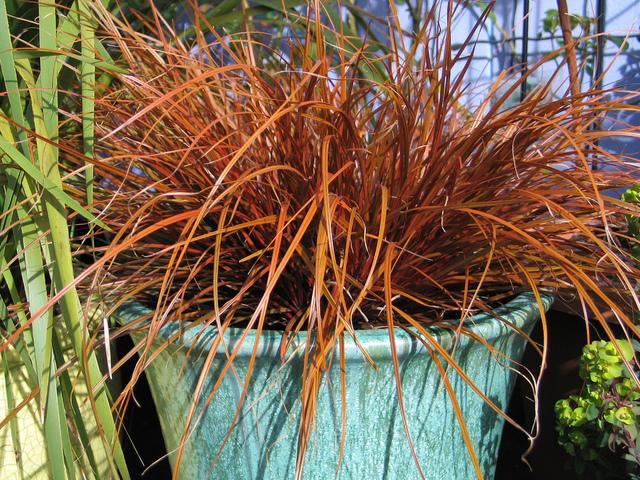 Uncinia rubra : plantation, culture, entretien