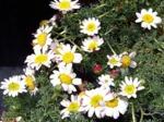 Camomille marocaine, Anacyclus pyrethrum var. depressus