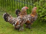 Les poules d'ornement : de la fantaisie dans votre jardin !