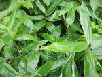 Les bambous couvre-sol