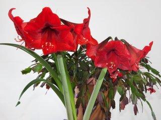 Amaryllis et schlumbergera en fleurs