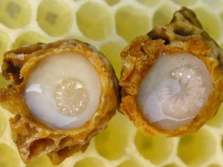 Cupules contenant de la gelée royale et des larves de reine