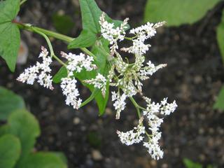 Fagopyrum dibotrys, épinard d'Asie : fleurs