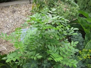 Réglisse - Glycyrrhiza glabra
