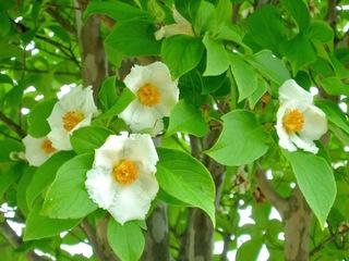 Stewartia pseudocamellia : floraison