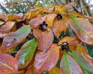 Feuillage automnal du Stewartia pseudocamellia