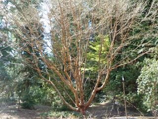 Stewartia sinensis au début du printemps