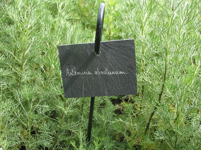 Artemisia abrotanum, aurone : plantation, culture, entretien