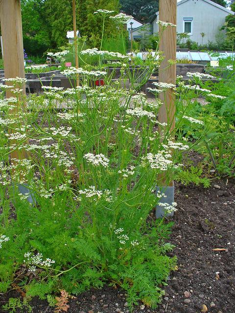 Cumin des prés, Carum carvi : semis, entretien, récolte
