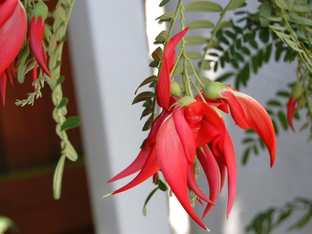 Clianthus puniceus, Pinces de homard : plantation, culture, entretien
