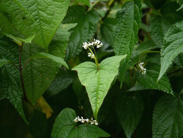 Epinard d'Asie, Fagopyrum dibotrys : semis, culture, récolte