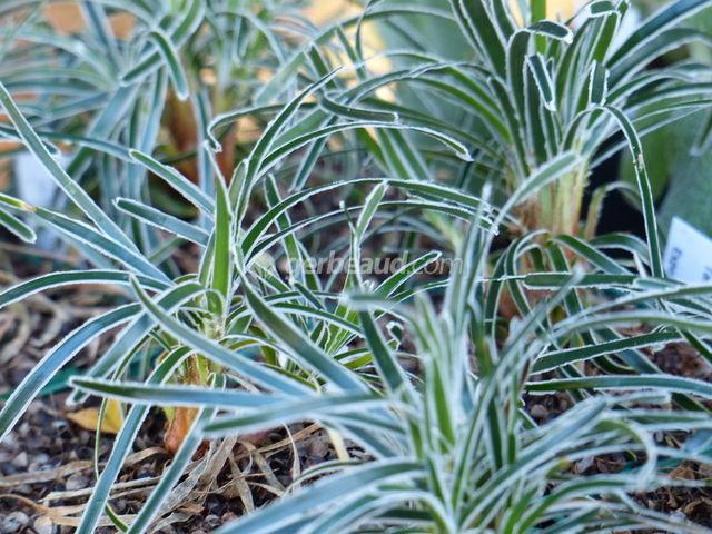 Ficinia truncata : plantation, culture, entretien