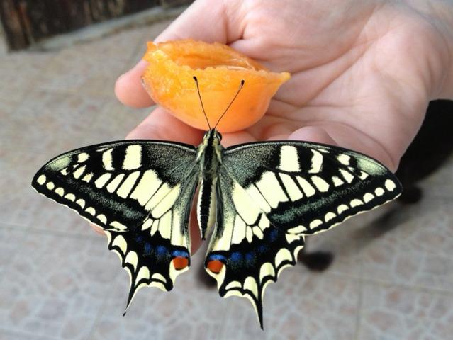 Les papillons les plus courants au jardin