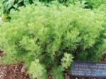 Artemisia abrotanum, aurone