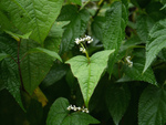 Epinard d'Asie, Fagopyrum dibotrys