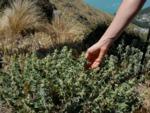 Marrube blanc, Marrubium vulgare