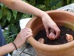 Planter des bulbes en pot avec les enfants