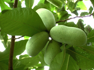 Asiminier : plantation, culture, entretien