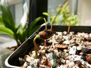 Asiminier : semis de graine