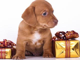 Chien en cadeau à Noël ?