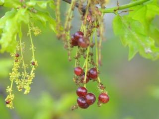 Galles sur inflorescences mâles de chêne