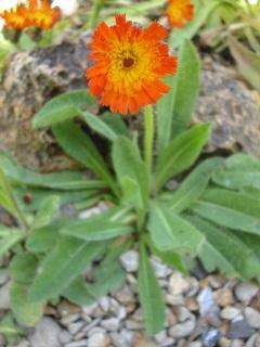 Hieracium aurantiacum, épervière orangée