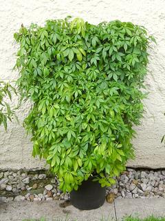 Jiaogulan, Gynostemma pentaphyllum