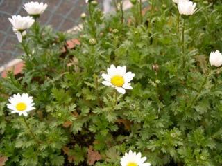 Leucanthemum paludosum