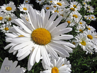 Leucanthemum, marguerite : semis, culture, espèces
