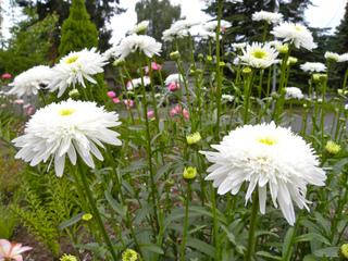 Leucanthemum superbum 'Ice Star'