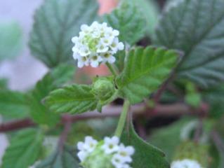 Lippia dulcis : floraison
