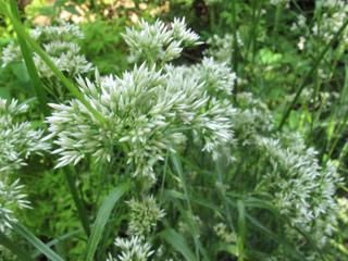 Luzula nivea : floraison
