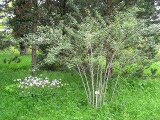 Ronce du Tibet, Rubus thibetanus