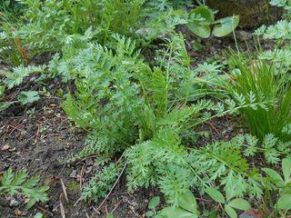 Tanacetum coccineum, pyrèthre rose : feuilles